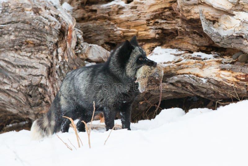 Ασημένια αλεπού με το θήραμα στο στόμα στοκ φωτογραφίες
