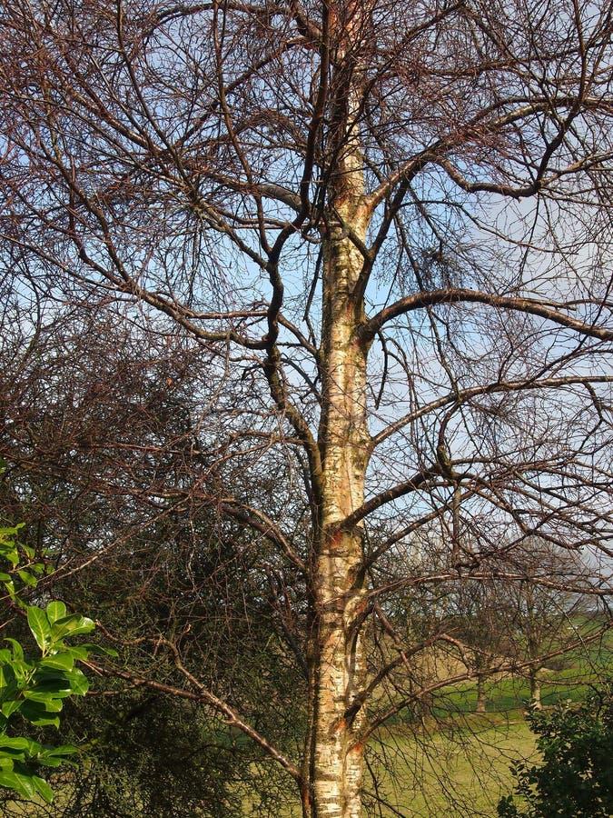 Ασημένια σημύδα, το χειμώνα στοκ εικόνες