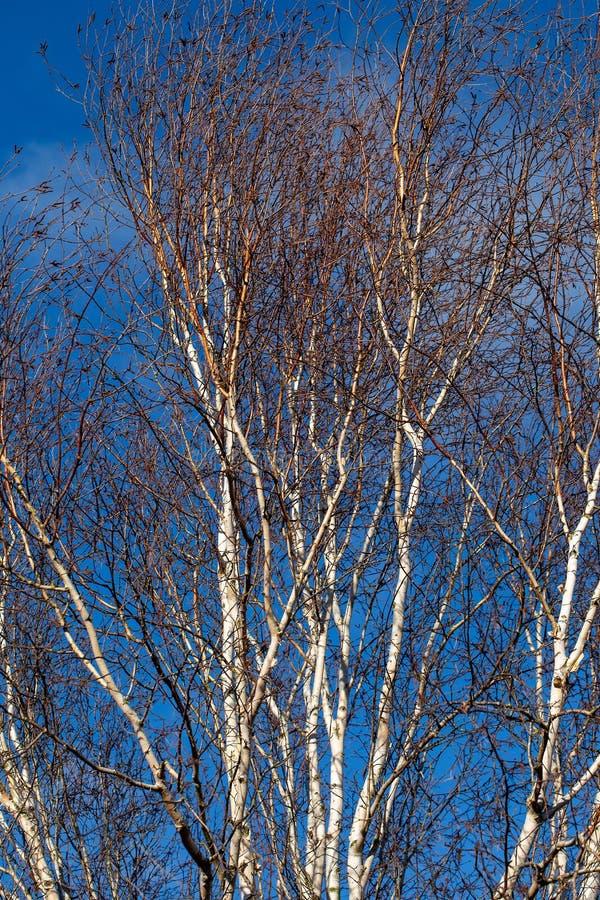 Ασημένιοι κλάδοι δέντρων σημύδων στο φωτεινό μπλε ουρανό στοκ φωτογραφία