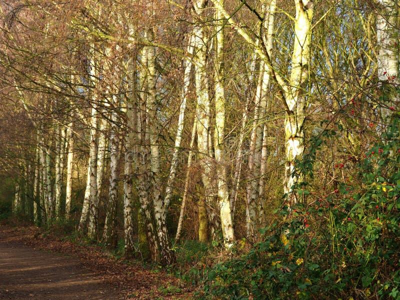 Ασημένιοι κορμοί δέντρων σημύδων εκτός από ένα δασόβιο ίχνος στοκ εικόνες με δικαίωμα ελεύθερης χρήσης