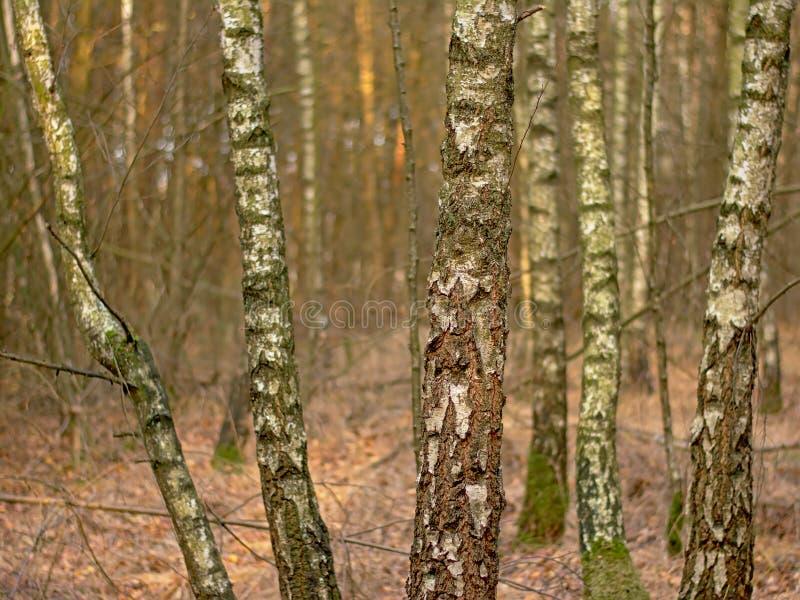 Ασημένιοι κορμοί δέντρων σημύδων στο δάσος - κλαίουσα Σημύδα στοκ φωτογραφία