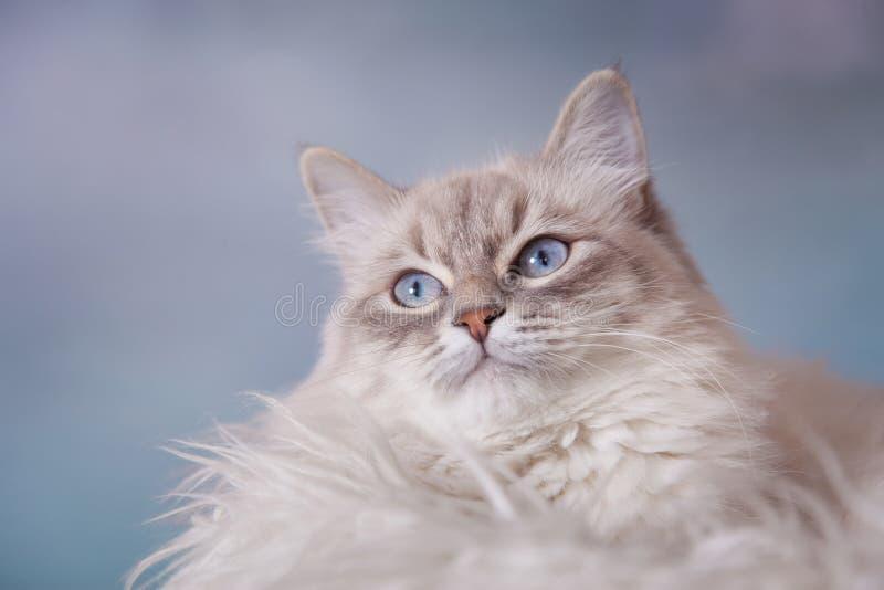Ασημένιος-τιγρέ γάτα σημείου μεταμφιέσεων Neva στοκ εικόνα