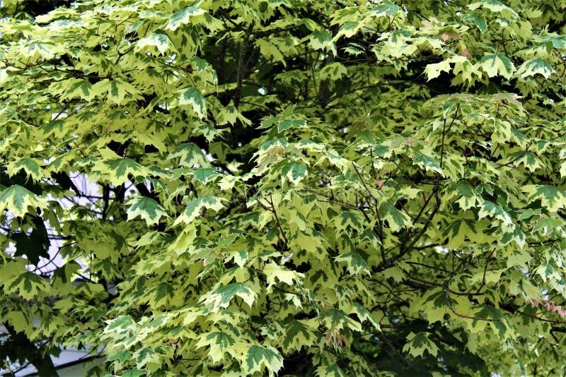 Ασημένιο δέντρο σφενδάμνου στο malone, Νέα Υόρκη, Ηνωμένες Πολιτείες στοκ εικόνες