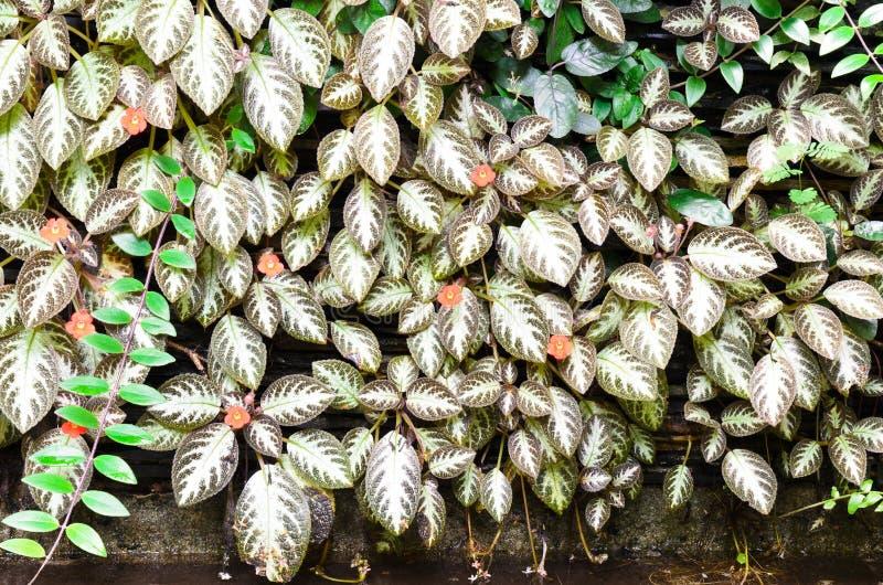 Ασημένιο υπόβαθρο γυαλάδας Episcia στοκ φωτογραφία με δικαίωμα ελεύθερης χρήσης