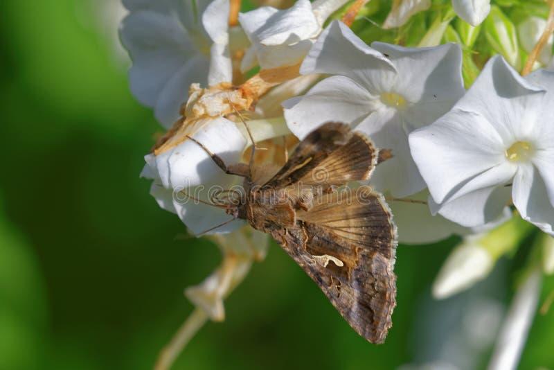 Ασημένιο Υ στα λουλούδια phlox στοκ φωτογραφίες με δικαίωμα ελεύθερης χρήσης