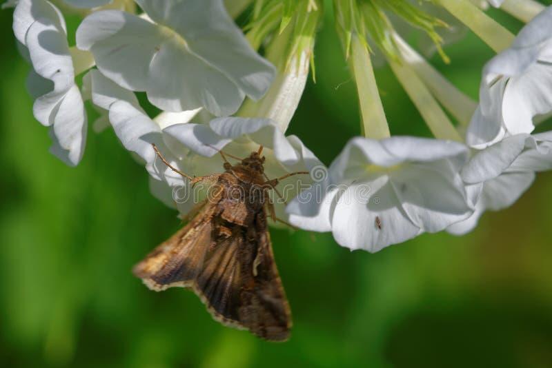 Ασημένιο Υ στα λουλούδια phlox στοκ εικόνες