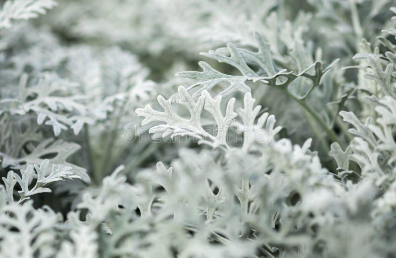 Ασημένιο ragwort maritima Jacobaea γνωστό στο παρελθόν ως cineraria Senecio στοκ εικόνες με δικαίωμα ελεύθερης χρήσης