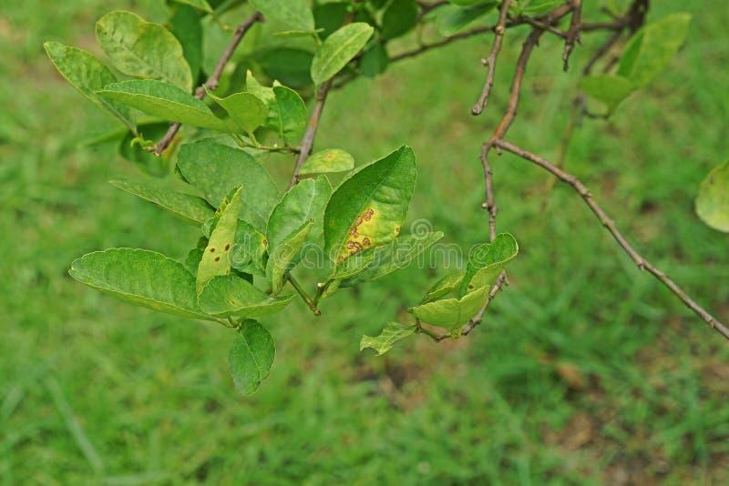 Ασθένεια φυτού στα φύλλα ασβέστη, αιτίες ασθενειών ελκών από τα βακτηρίδια στοκ φωτογραφία με δικαίωμα ελεύθερης χρήσης