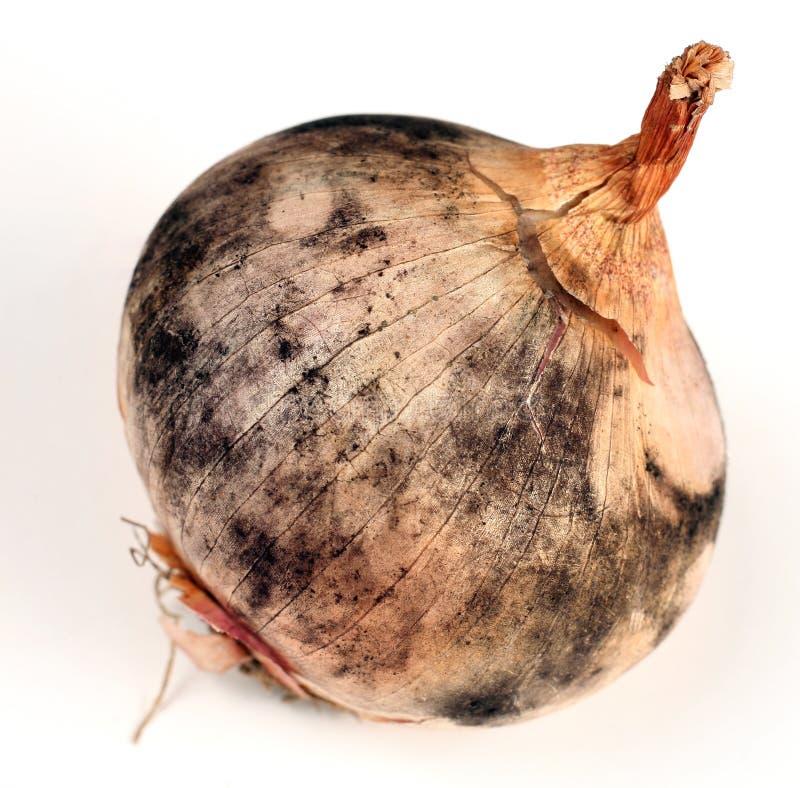 ασθενές κρεμμύδι στοκ φωτογραφίες