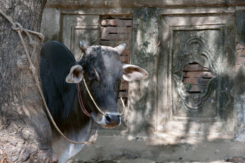 Ασιατικά αγελάδα καταγωγής και υπόβαθρο τοίχων ναών στοκ φωτογραφία με δικαίωμα ελεύθερης χρήσης
