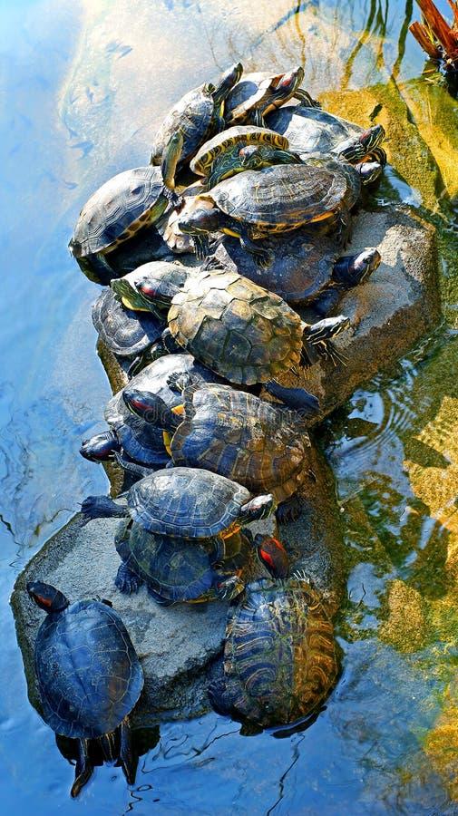 Ασιατικές χελώνες τερραπινών στοκ εικόνες με δικαίωμα ελεύθερης χρήσης