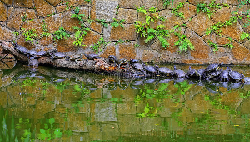 Ασιατικές χελώνες τερραπινών στοκ φωτογραφίες με δικαίωμα ελεύθερης χρήσης