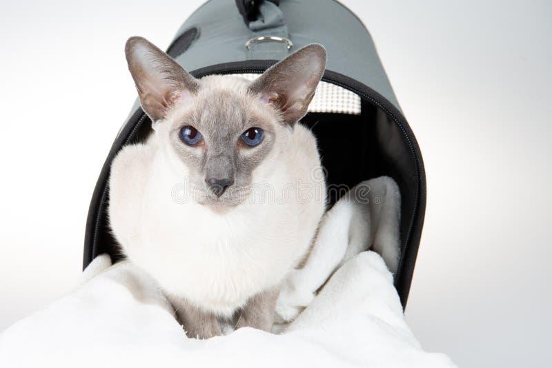 Ασιατική γάτα Shorthair στην γκρίζα τσάντα μεταφορέων στο άσπρο υπόβαθρο στοκ εικόνες