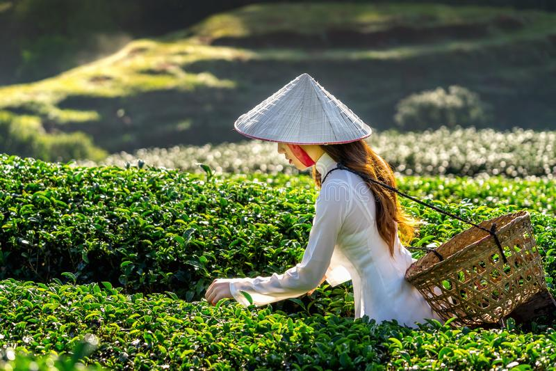 Ασιατική γυναίκα που φορά τον πολιτισμό του Βιετνάμ παραδοσιακό στον πράσινο τομέα τσαγιού στοκ φωτογραφίες με δικαίωμα ελεύθερης χρήσης