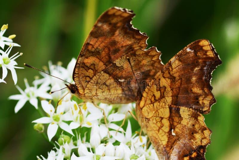 Ασιατική πεταλούδα κομμάτων στοκ φωτογραφία