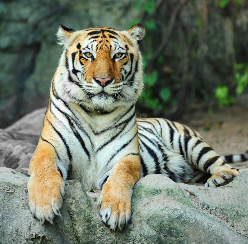 ασιατική τίγρη βράχου στοκ φωτογραφία με δικαίωμα ελεύθερης χρήσης
