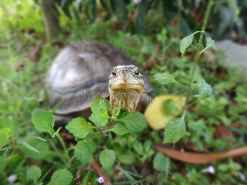 ασιατική χελώνα κιβωτίων στοκ φωτογραφίες με δικαίωμα ελεύθερης χρήσης
