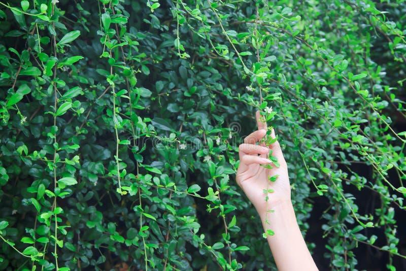 Ασιατικό αριστερό χέρι γυναικών σχετικά με τις πράσινες εγκαταστάσεις κισσών στο υπόβαθρο τοίχων φύσης στοκ φωτογραφίες