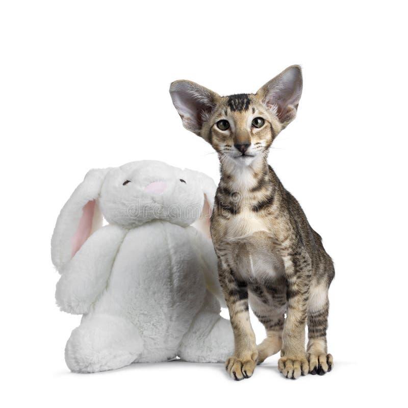 Ασιατικό γατάκι Shorthair στο λευκό στοκ εικόνα με δικαίωμα ελεύθερης χρήσης