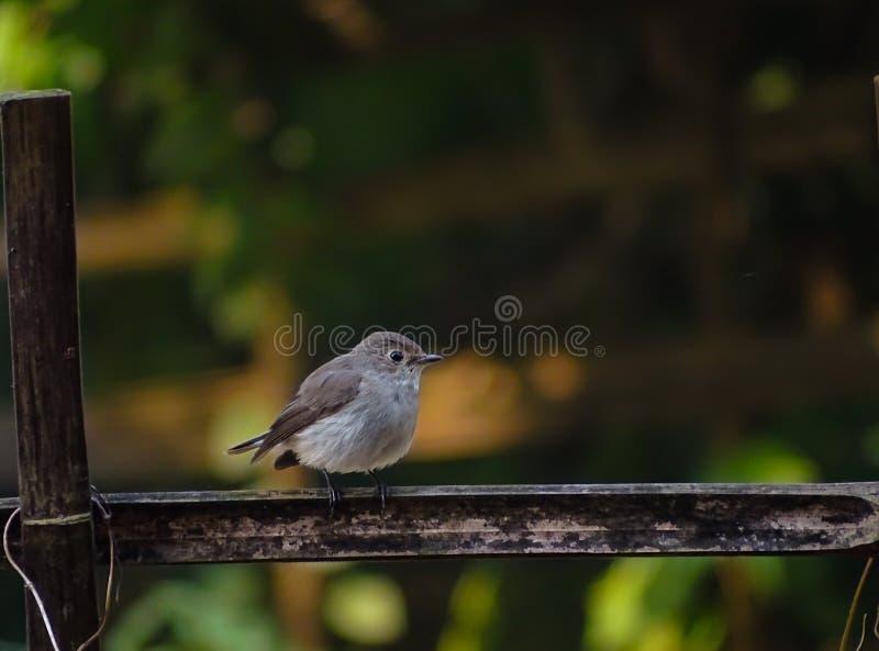 Ασιατικό καφετί flycatcher στοκ φωτογραφίες με δικαίωμα ελεύθερης χρήσης