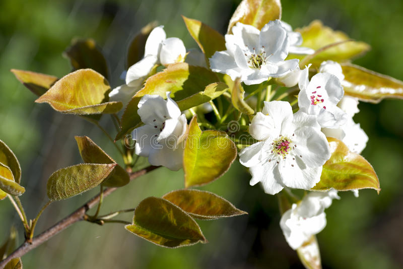 Ασιατικό λουλούδι αχλαδιών στοκ εικόνες