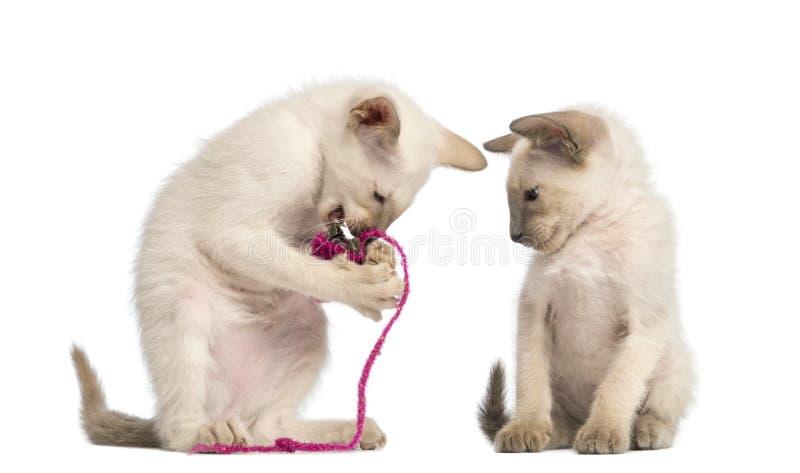 Ασιατικό παιχνίδι γατακιών Shorthair στοκ εικόνες με δικαίωμα ελεύθερης χρήσης