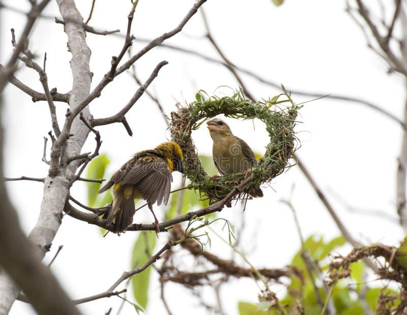 Ασιατικό πουλί υφαντών στοκ εικόνες