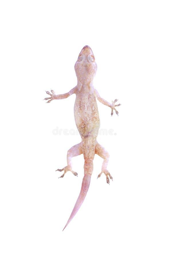 Ασιατικό gecko ή hemidactylus σπιτιών τοπ άποψης που απομονώνεται στο άσπρο υπόβαθρο με το ψαλίδισμα της πορείας στοκ εικόνα