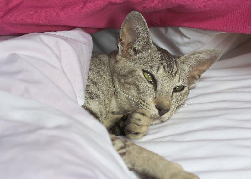 ασιατικό shorthair γατών στοκ εικόνες