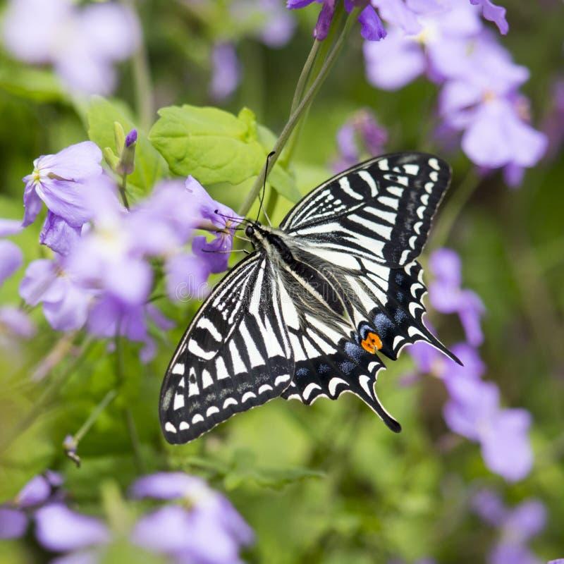 Ασιατικό swallowtail στοκ φωτογραφίες