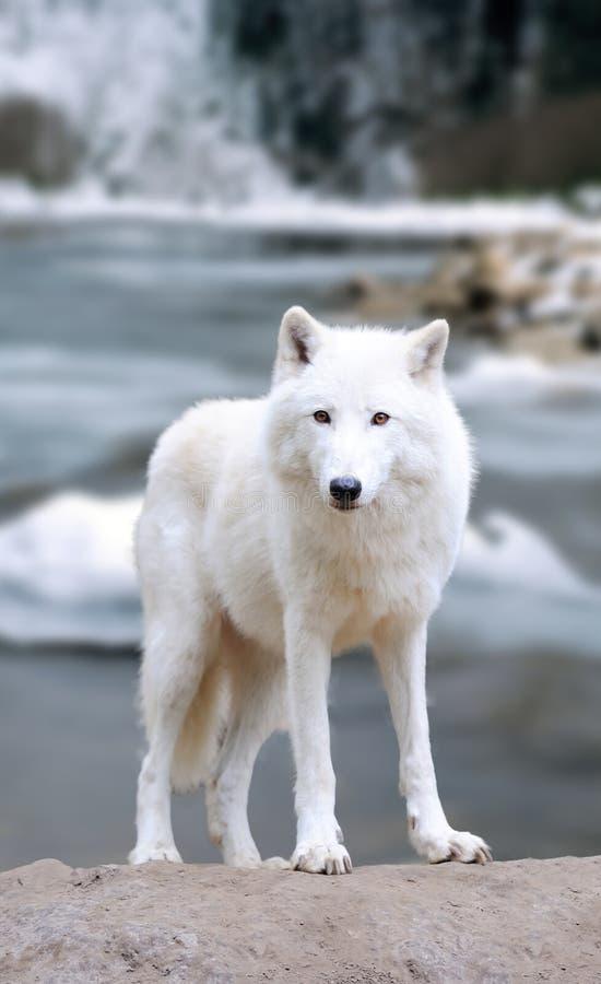 δασικός άσπρος λύκος στοκ εικόνα με δικαίωμα ελεύθερης χρήσης