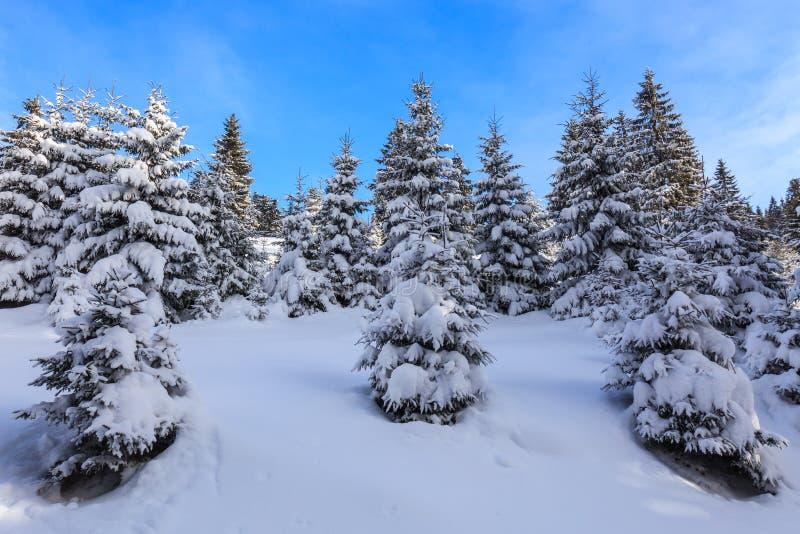δασικός χειμώνας πεύκων στοκ φωτογραφία