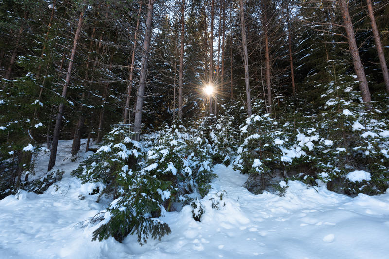 δασικό χειμερινό δάσος σκηνής λιμνών ειρηνικό Sunrays στο δάσος σε μια ηλιόλουστη χειμερινή ημέρα Χιονώδες παραμύθι στη Βουλγαρία στοκ εικόνα