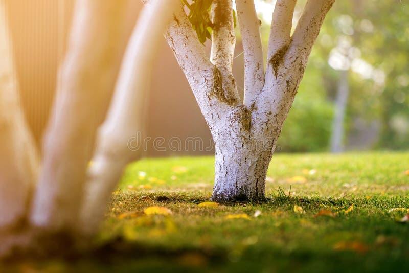 Ασπρισμένος φλοιός της ανάπτυξης δέντρων στον ηλιόλουστο κήπο οπωρώνων στο θολωμένο πράσινο διαστημικό υπόβαθρο αντιγράφων στοκ εικόνες