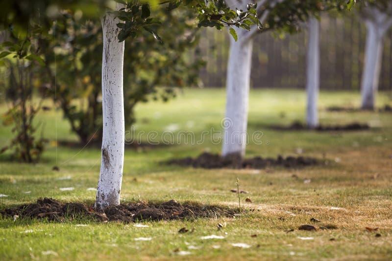 Ασπρισμένος φλοιός της ανάπτυξης δέντρων στον ηλιόλουστο κήπο οπωρώνων στο θολωμένο πράσινο διαστημικό υπόβαθρο αντιγράφων στοκ εικόνα με δικαίωμα ελεύθερης χρήσης