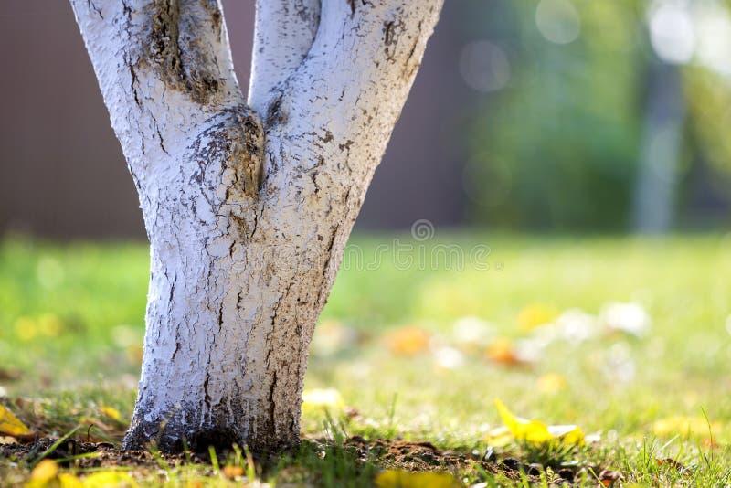 Ασπρισμένος φλοιός της ανάπτυξης δέντρων στον ηλιόλουστο κήπο οπωρώνων στο θολωμένο πράσινο διαστημικό υπόβαθρο αντιγράφων στοκ φωτογραφία