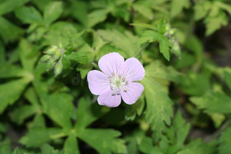 Ασπρισμένο ιώδες λουλούδι με την πρασινάδα στοκ εικόνες