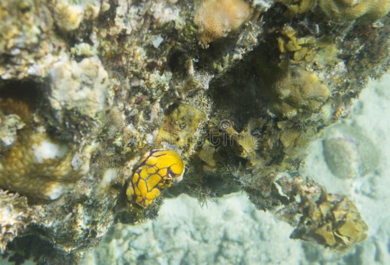 Ασπόνδυλος στενός επάνω Nudibranch στοκ εικόνα με δικαίωμα ελεύθερης χρήσης