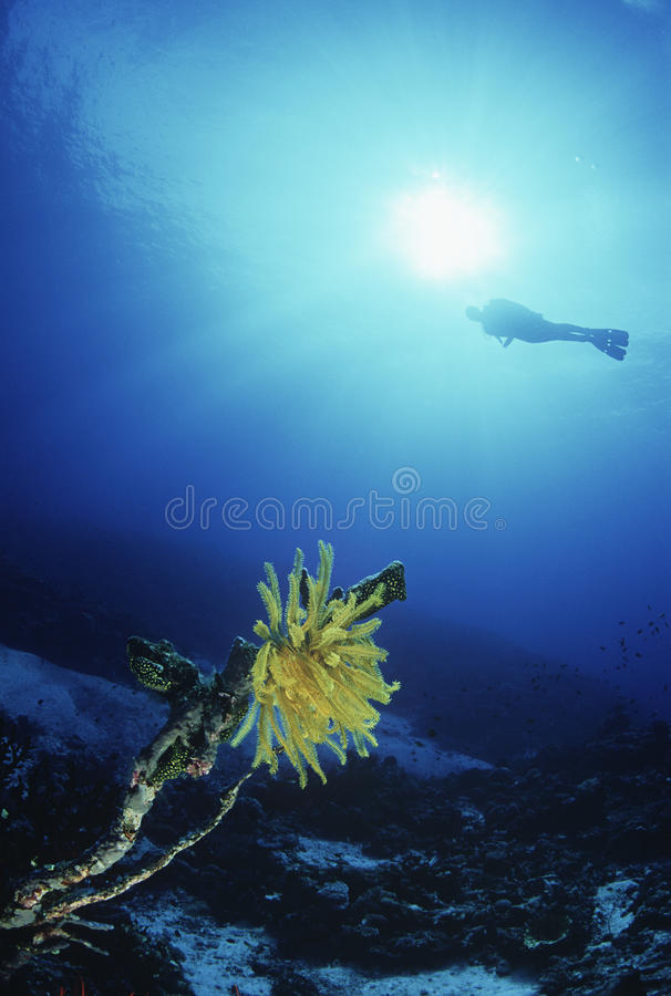 Αστέρι κοραλλιογενών υφάλων και φτερών με το δύτη σκαφάνδρων στο υπόβαθρο στοκ φωτογραφία