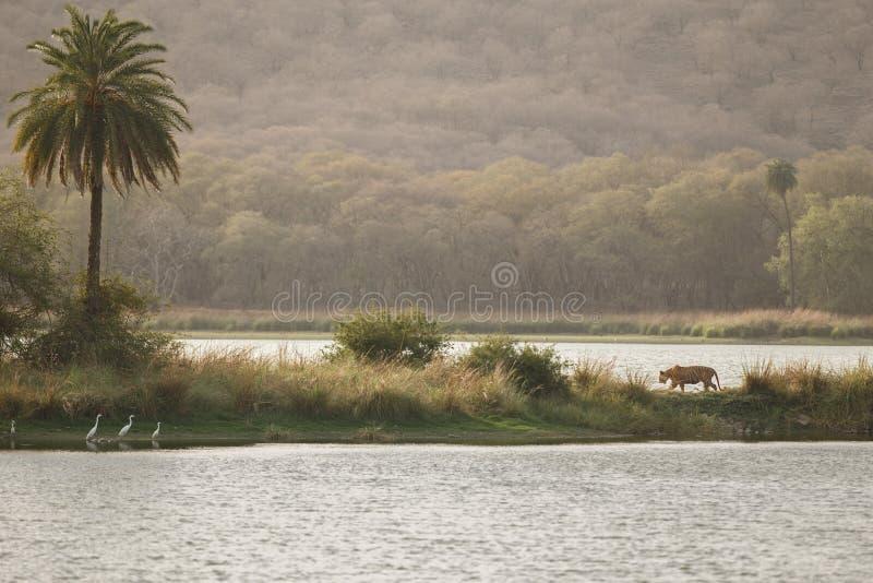 Αστέρι τιγρών στοκ φωτογραφίες με δικαίωμα ελεύθερης χρήσης