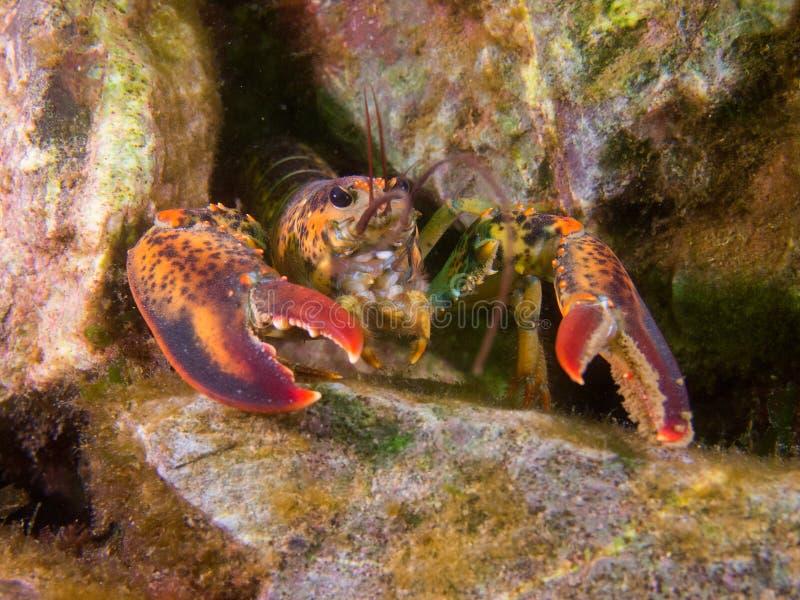 Αστακός στην κοραλλιογενή ύφαλο στοκ εικόνα