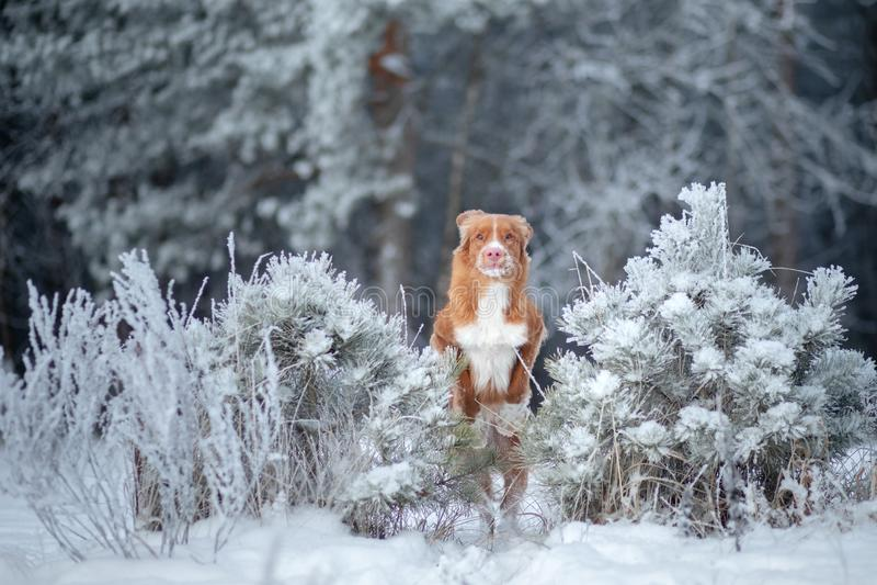 Αστεία άλματα σκυλιών το χειμώνα στο χιόνι Retriever διοδίων παπιών της Νέας Σκοτίας, στοκ εικόνα