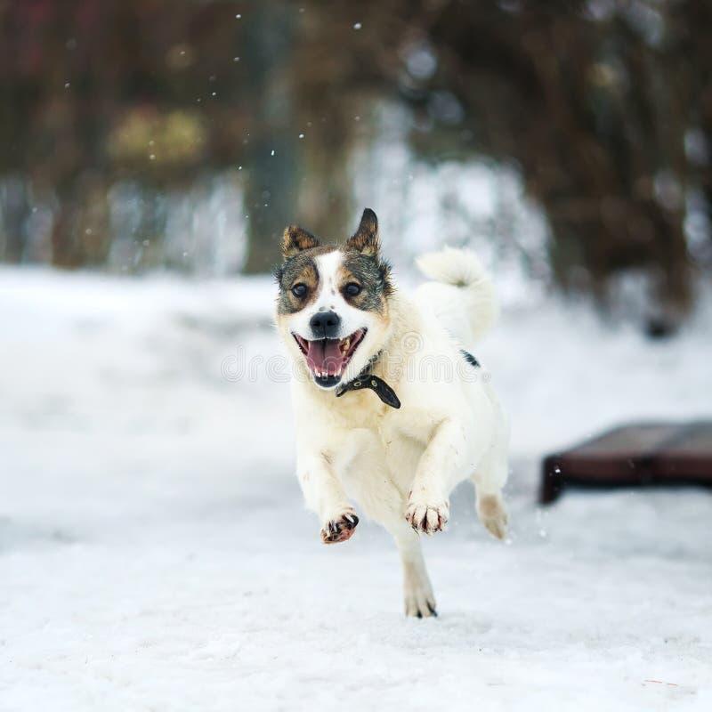 Αστεία άσπρη διασκέδαση σκυλιών που τρέχει στο χιόνι παγώματος το χειμώνα στοκ φωτογραφίες με δικαίωμα ελεύθερης χρήσης