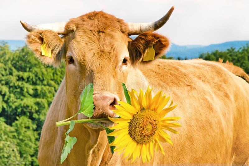 Αστεία αγελάδα με το λουλούδι στοκ εικόνες