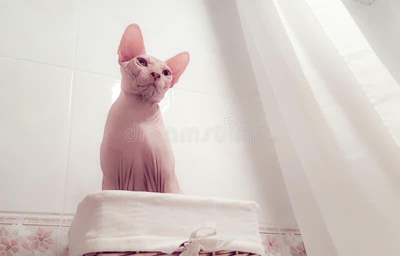 Αστεία γάτα Sphynx στοκ εικόνες με δικαίωμα ελεύθερης χρήσης