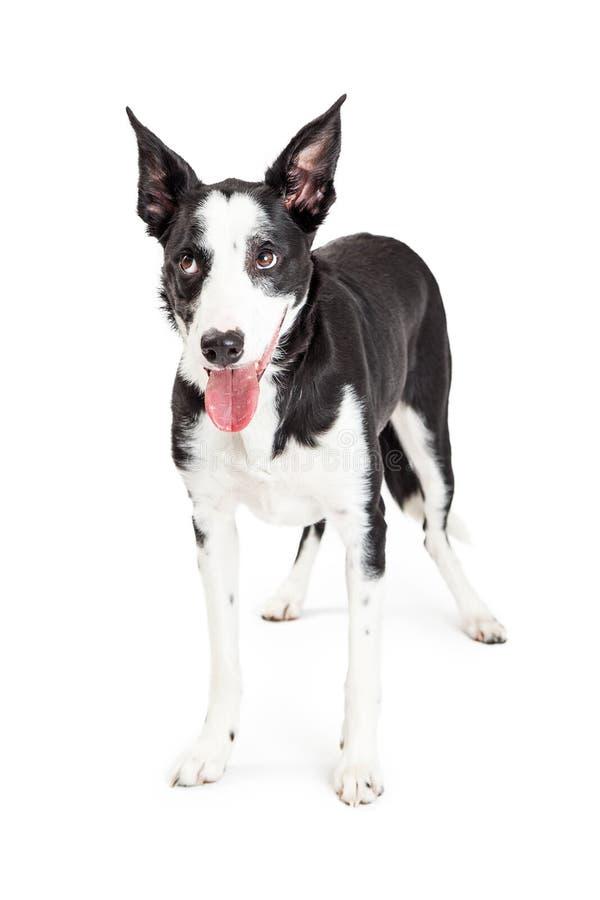 Αστεία κυλώντας μάτια σκυλιών διασταύρωσης επάνω στοκ φωτογραφία με δικαίωμα ελεύθερης χρήσης