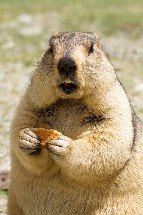Αστεία μαρμότα με το bisquit στο λιβάδι στοκ εικόνες