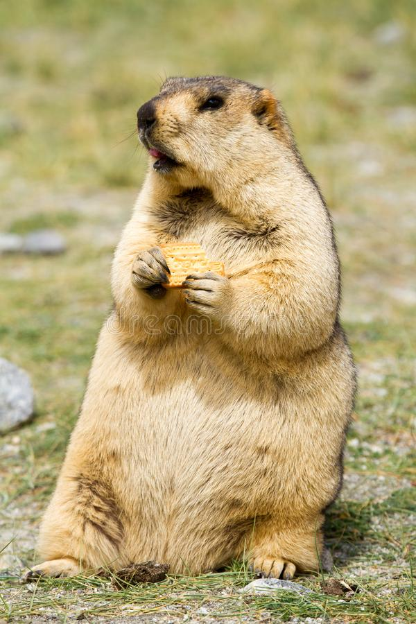 Αστεία μαρμότα με το bisquit στο λιβάδι στοκ φωτογραφία με δικαίωμα ελεύθερης χρήσης