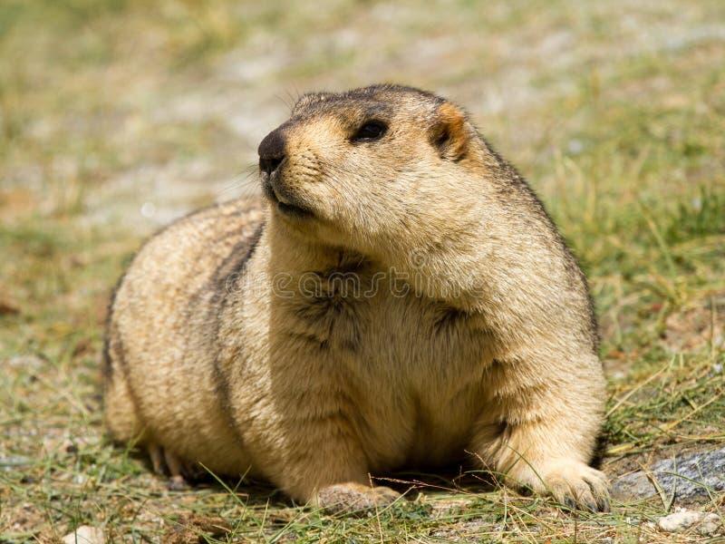 Αστεία himalayan μαρμότα groundhog στο πράσινο λιβάδι στοκ εικόνες με δικαίωμα ελεύθερης χρήσης
