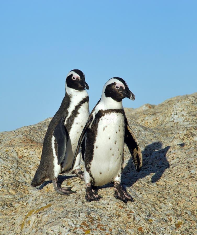 αστεία jackass penguins στοκ φωτογραφίες